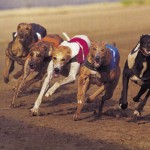 GREYHOUND RACING HENS